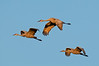 ASC-10014: Sandhill Crane trio in flight