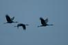 ASC-10166: Twillight Cranes