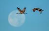 Full moon Cranes