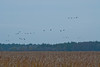 ASC-10162: Cranes flying over Fish Lake WMA