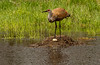 Sandhill Crane and egg