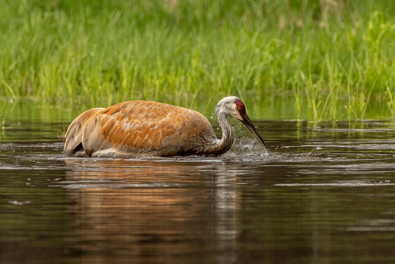 Sandhill Crane and reflection
