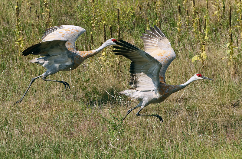 Sandhill Crane Pair Take Off #2
