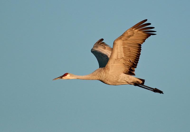 ASC-9273: Sandhill Crane in flight