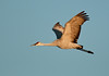 ASC-9273: Sandhill Crane in flight