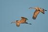 ASC-10057: Sandhill Crane pair