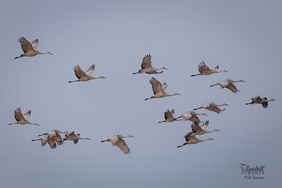 Sandhill cranes, New Mexico 2016