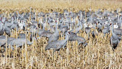 Sandhill crane pileup in the corn fields, New Mexico