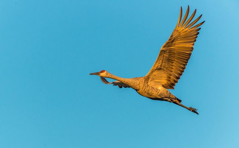 Crane taking flight