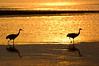 ASC-7026: Sunrise Sandhill Cranes