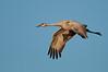 ASC-10074: Sandhill Crane