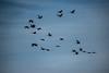 Flying Cranes at twilight