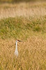 ASC-8003: Sandhill Crane in tall grass