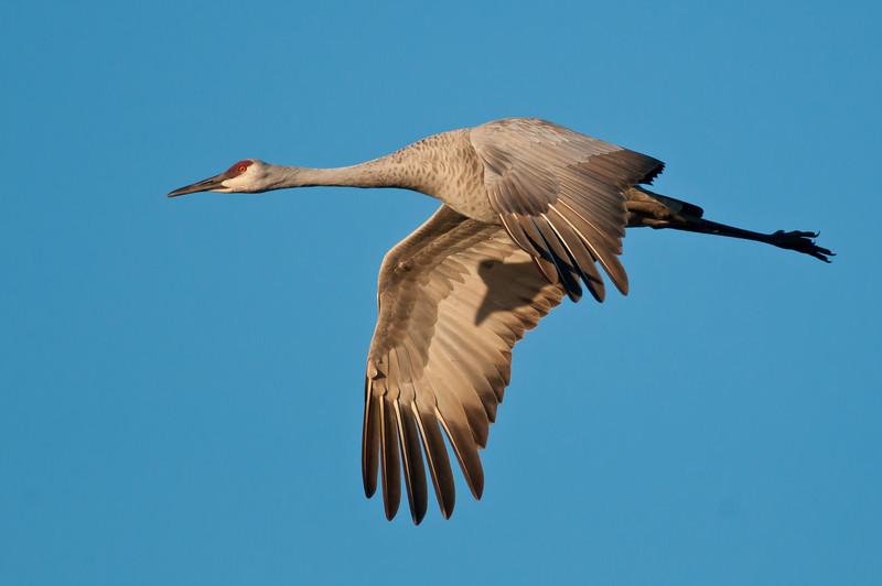 ASC-10076: Crane in flight