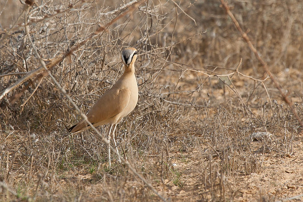 Cream colourd courser