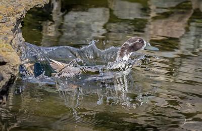 Swedish Duck making a splash