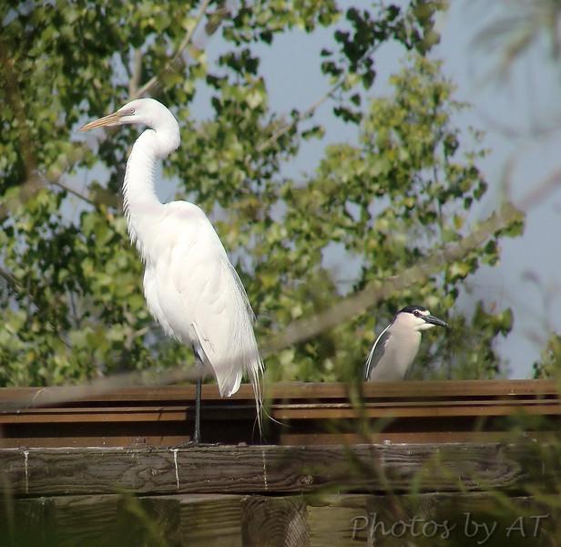 Great Egret & Black-crowned Night-Heron <br /> Creve Coeur Lake