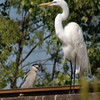 Great Egret & Black-crowned Night-Heron <br /> Creve Coeur Lake