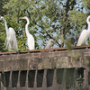 Great Egrets & Black-crowned Night-Heron <br /> Creve Coeur Lake