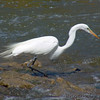 Great Egret <br /> Creve Coeur Lake