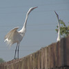 Great Egrets <br /> Creve Coeur Lake
