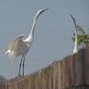 Great Egrets <br /> Creve Coeur Lake