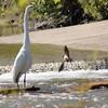 Great Egret <br /> Creve Coeur Lake