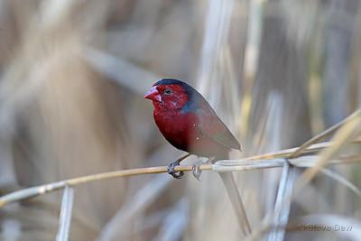 Crimson Finch - Male