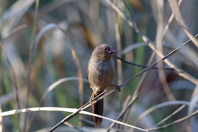 Crimson Finch - Immature