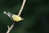 American Goldfinch - Male - Grayling, MI, USA