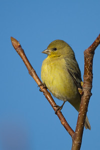 American Goldfinch - Female - Alviso, CA