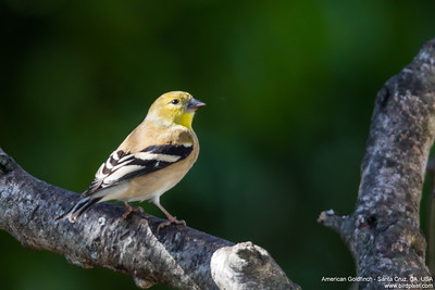 American Goldfinch - Santa Cruz, CA, USA