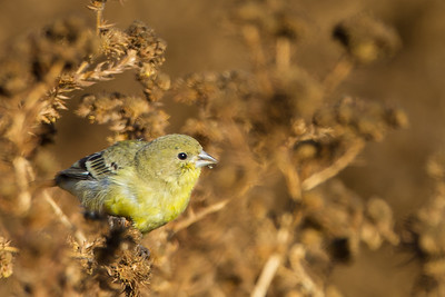 American Goldfinch - Female - Alviso, CA, USA