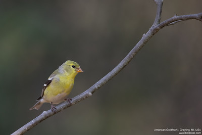 American Goldfinch - Grayling, MI, USA