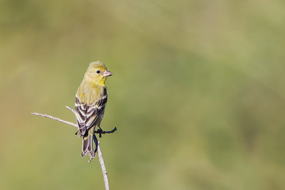 American Goldfinch - Female - Loma Prieta Ave., Santa Cruz Mountains, CA, USA