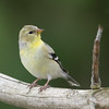 American Goldfinch - Female - Grayling, MI, USA