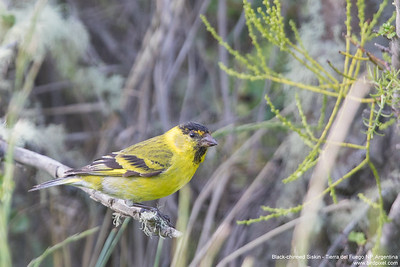 Black-chinned Siskin - Tierra del Fuego NP, Argentina