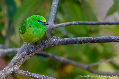 Blue-naped Chlorophonia - El Dorado Lodge, Colombia