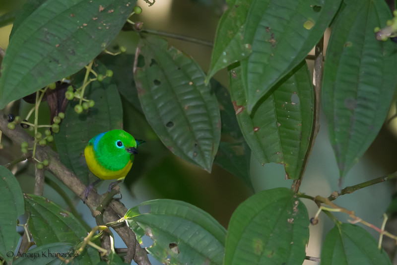Blue-naped Chlorophonia - Cock-of-the-Rock Lodge, Nr. Manu National Park, Peru