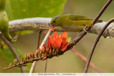 Bronze-green Euphonia - Peru
