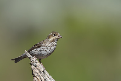 Cassin's Finch - Female - OR, USA