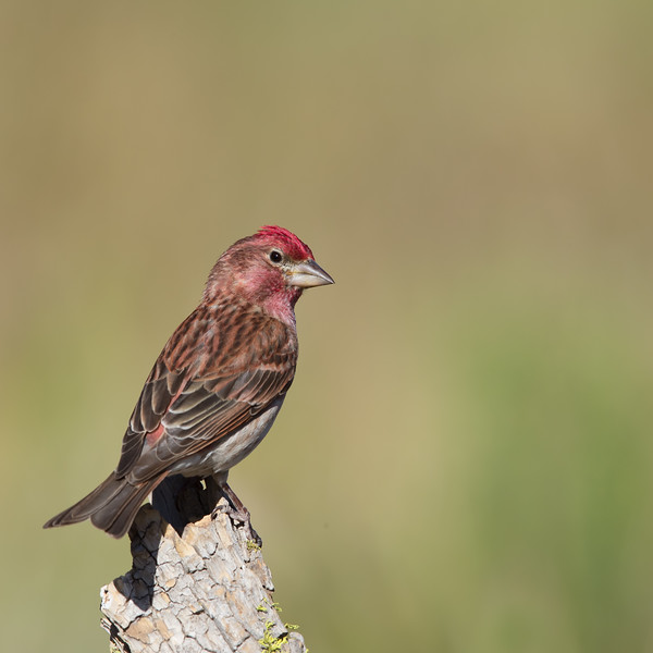 Cassin's Finch - Male - OR, USA