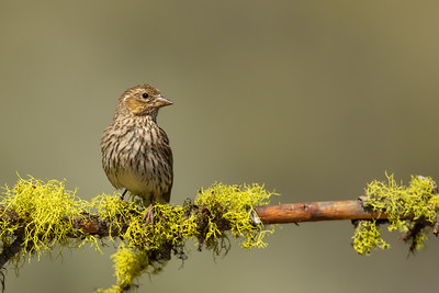 Cassin's Finch - OR, USA