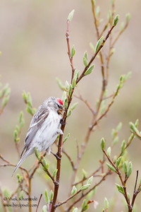 Common Redpoll - Nome, AK, USA