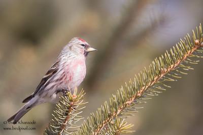 Common Redpoll - Sax-Zim Bog, Nr. Duluth, MN, USA