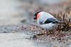 Eurasian Bullfinch (Male) - Record - Hokkaido, Japan