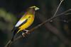 Evening Grosbeak - Male - Grayling, MI, USA