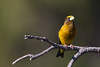 Evening Grosbeak - Yuba Pass Campground, Hwy 49, CA, USA