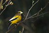 Evening Grosbeak - Male - Grayling, MI, USA
