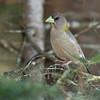 Evening Grosbeak - Female - Grayling, MI, USA